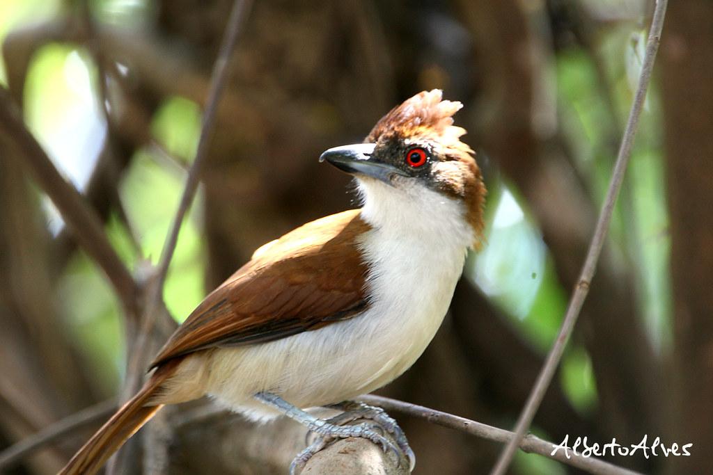 Imagen de una de las aves del Quindio: Batara Mayor