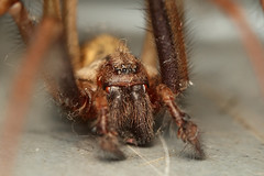 araneus(0.0), european garden spider(0.0), arthropod(1.0), animal(1.0), spider(1.0), invertebrate(1.0), insect(1.0), macro photography(1.0), fauna(1.0), close-up(1.0), tarantula(1.0), wolf spider(1.0),