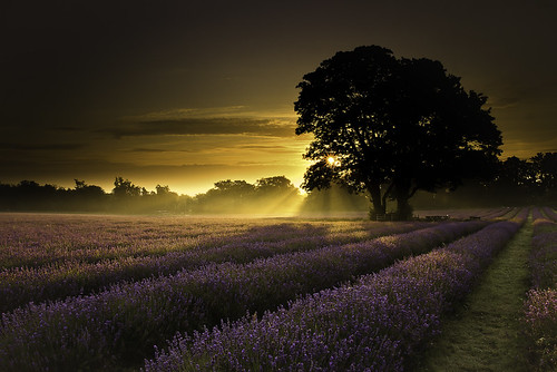 Mayfair Lavender First Light