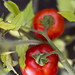 2011/216/365 Sweet Tomatoes by JunBelen