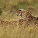 20128 Cheetah Chase