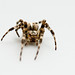 Small photo of Arachnid
