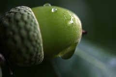 drops at an acorn