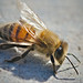 Small photo of Africanized Bee