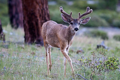 animal, prairie, deer, nature, fauna, grassland, wildlife,