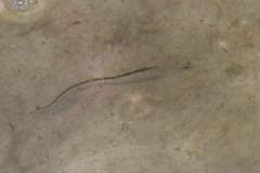 20110710 - Northern Pipe Fish