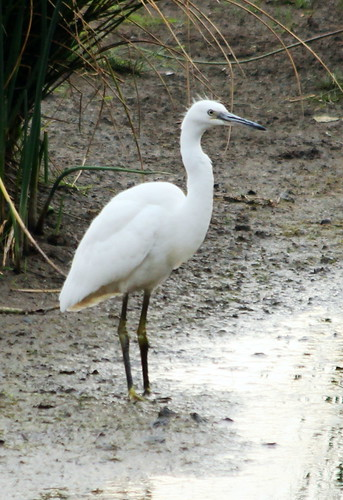 Little Egret 9289