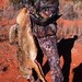 Texas coyote, 250 yard shot