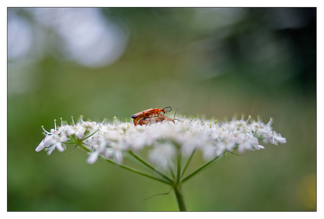 Red soldier beetles in action 2