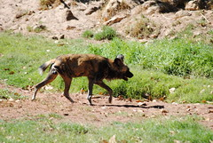 dhole(0.0), animal(1.0), mammal(1.0), fauna(1.0), lycaon pictus(1.0), wilderness(1.0), wildlife(1.0),