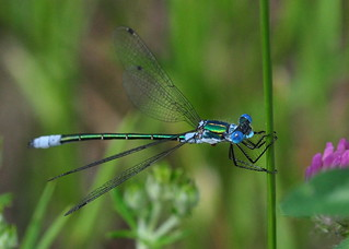 Male Emerald Spreadwing (Lestes dryas)
