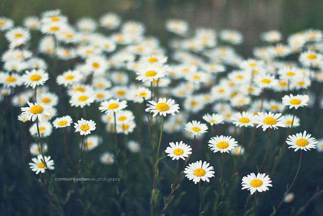 daisy tumblr backgroundsTumblr Backgrounds Daisies