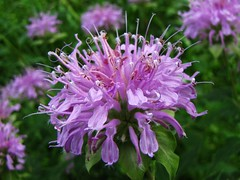 shrub, flower, plant, bee balm, lilac, scarlet beebalm, herb, wildflower, flora, meadow,