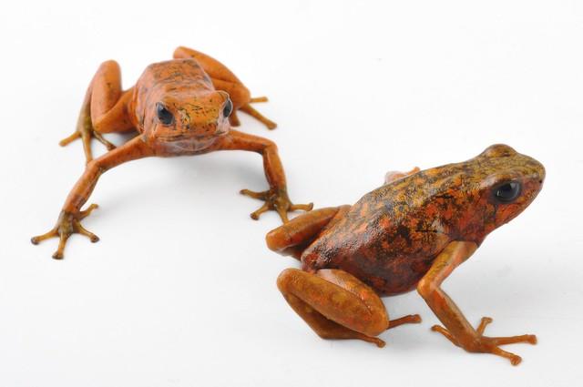 Dendrobates sylvaticus