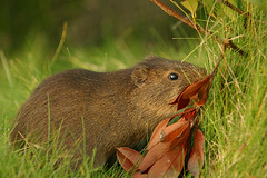 animal, grass, rodent, mouse, fauna, muskrat, wildlife,