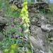 Linaria heterphylla (Paul Harmes)