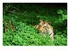 Indian National Animal