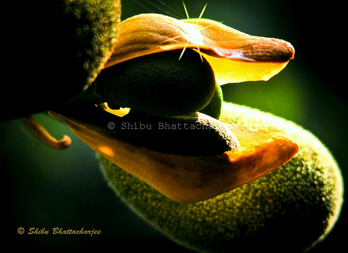 Flowering Jackfruit by Shibu Bhattacharjee (Busy for Pro work )