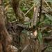 Cobra in Tree - Sundarbans, Bangladesh