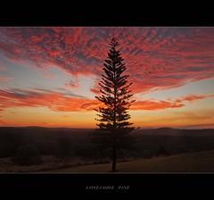 Lonesome pine (Hal ' lonepine' )