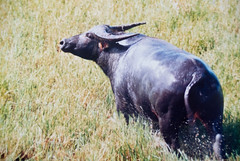 cattle-like mammal, animal, water buffalo, grass, mammal, horn, grazing, fauna, meadow, cattle, pasture, grassland, wildlife,