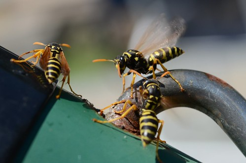 Natural Wasp Spray To Get Rid Of Wasp Nests