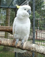 parakeet(0.0), cockatoo(1.0), animal(1.0), parrot(1.0), zoo(1.0), pet(1.0), sulphur crested cockatoo(1.0), fauna(1.0), beak(1.0), bird(1.0),
