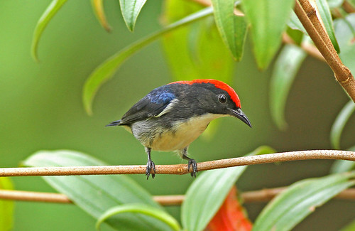 Scarlet Backed Flowerpecker ( Male )