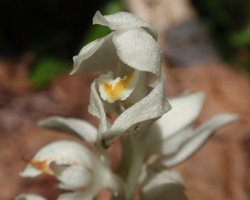 Phantom Orchid 05