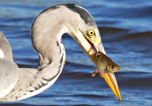 Grey Heron with Roach
