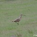 Small photo of Curlew in Grass Photo credit: Jane Abel