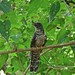 Small photo of Juvenile African Cuckoo (Cuculus gularis)