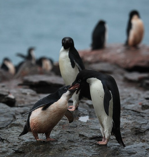 Adélie Penguin regurgitates yet more krill to feed its chick