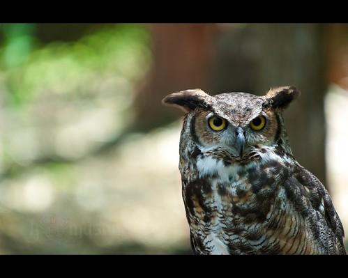 nc charlotte great northcarolina owl crc bubo horned huntersville virginianus carolinaraptorcenter nikonafsteleconvertertc17eii nikonafsnikkor70200mmf28gedvr