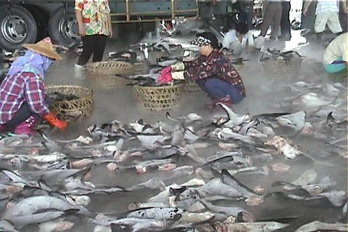 漁民正在將捕獲的魚翅裝籃。(圖片來源:台灣動物社會研究會)
