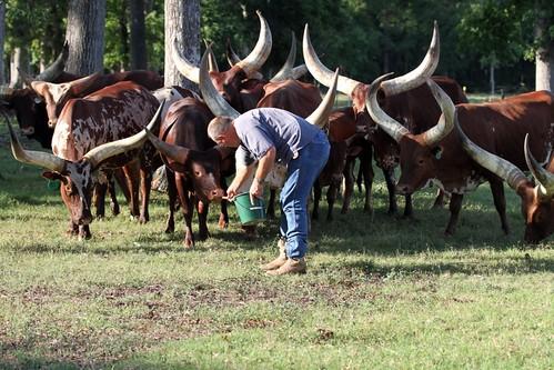 cattle watusi ankole