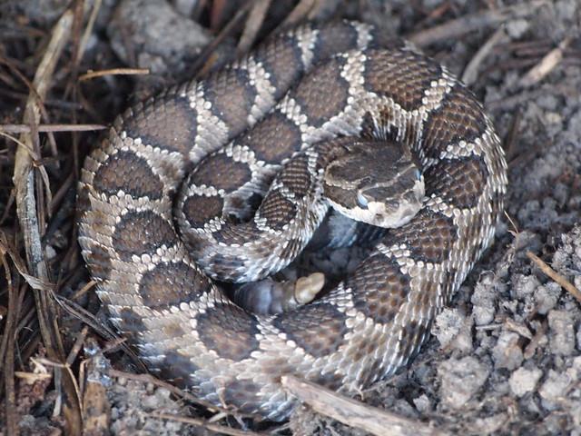 Northern Pacific Rattlesnake, Crotalus oreganus oreganus ...