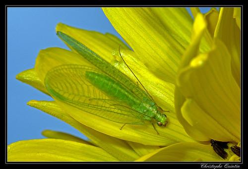 Chrysoperla affinis