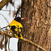 Black-hooded Oriole (Ron Brown)