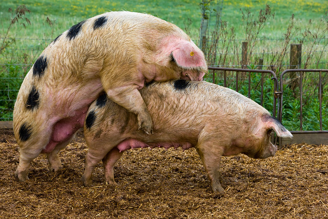 Pigs mating in the farmyard | Flickr - Photo Sharing!