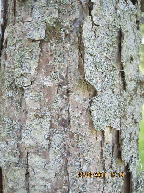 Quercus Bicolor Bark Bark of Quercus...