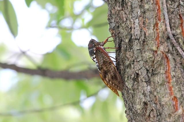 Large Brown Cicada (Matsudo, Chiba, Japan)
