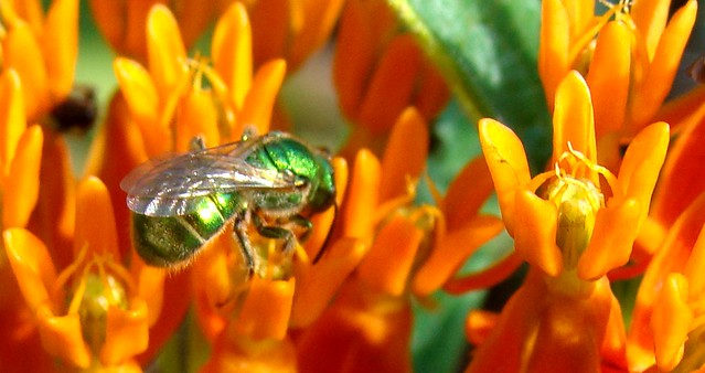 Green sweat bee, Agapostemon, on butterflyweed
