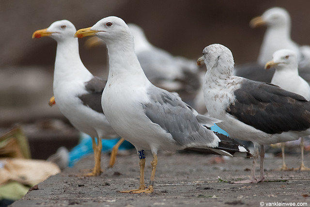 Yellow-legged Gull, 5cy, B[DB]