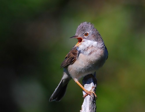 Papa-amoras / Whitethroat