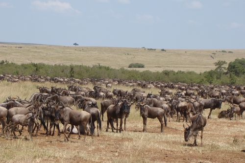 Wildebeest Migration - The Migration Made Simple