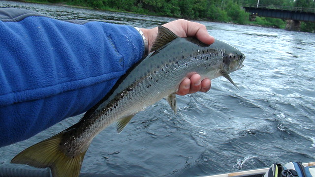 Fresh Salmon from the Kennebec