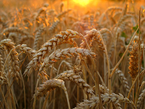 Wheat in golden Evening Light - - - Thanks for 100.000 views on this image !!!