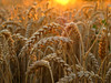 Wheat in golden Evening Light by Batikart
