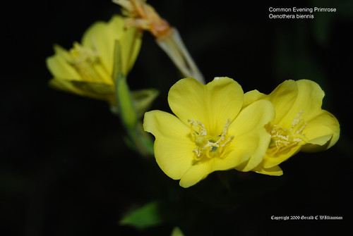 Common Evening Primrose - Oenothera biennis